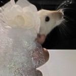 Fashion For Pet Rats 1 150x150 Couture Fashion for Pet Rats…Time for some Rat walk!