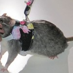 Fashion For Pet Rats 3 150x150 Couture Fashion for Pet Rats…Time for some Rat walk!
