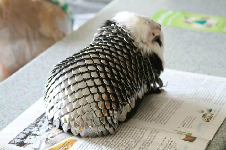 Guinea Pigs set to Conquer the World in Adorable Suit of Armor