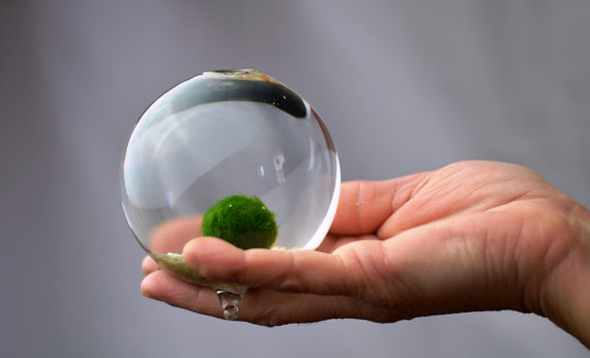 Marimo glass spheres make for a peaceful sight and a charming gift