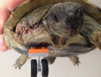 Lego Wheel allows Schildi the bionic tortoise to walk again