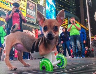 TurboRoo the Two-Legged Chihuahua gains mobility with 3D Printed Cart