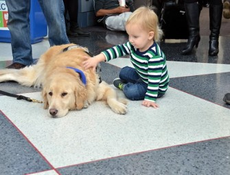 Golden retrievers deployed at Chicago Airport to help people relax during stressful holiday travel
