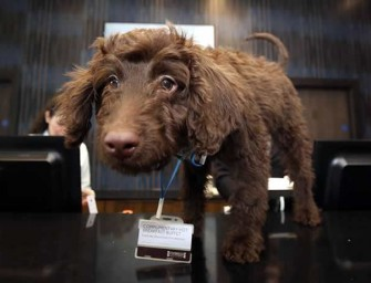 London Hotel enlists the adorable services of Labradoodle to greet guests at reception
