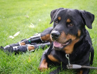 Brutus, a quadruple amputee Rottweiler, gets prosthetic limbs via crowdfunding